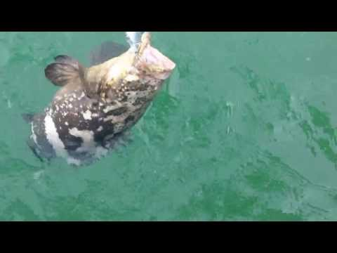 Little Goliath Groper caught inshore of Captiva Island