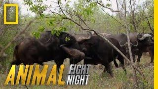 getlinkyoutube.com-Buffalo Brawl | Animal Fight Night