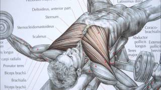 getlinkyoutube.com-Bodybuilding chest exercise and anatomy