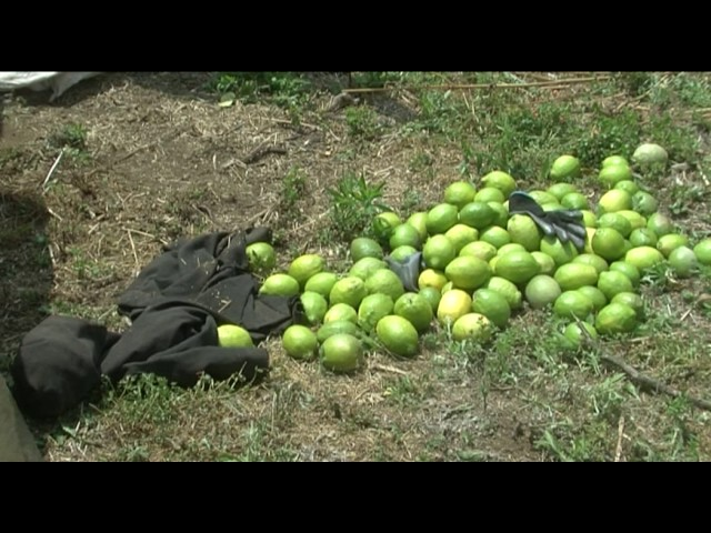 Giarre. Furto di limoni, arresti in flagranza