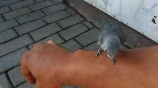 Pássaro Sanhaço Filhote Cai do Ninho Não consegue Voar