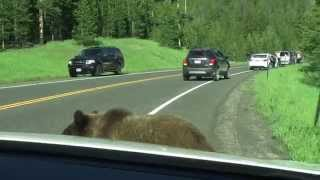 "getlinkyoutube.com-Yellowstone Grizzly Bear - ""Attacks"" Car"