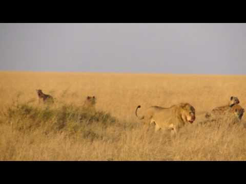 Videos Related To 'lion Vs Hyenas In Masai Mara Part 2'