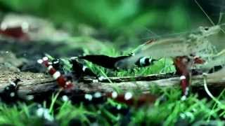 getlinkyoutube.com-Taiwan Bee shrimp feeding time