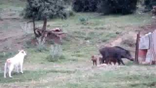 getlinkyoutube.com-خنزير يتحدى الكلاب     من ولاية خنشلة
