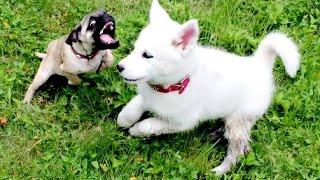 getlinkyoutube.com-HORRIBLE PELEA DE PERROS (Bulldog, Husky y Pug)