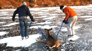 getlinkyoutube.com-Bambi on Ice - Deer gets rescued from frozen lake