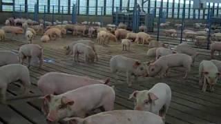 getlinkyoutube.com-Modern Hog Production Part 1 A Family Affair.mp4