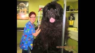 getlinkyoutube.com-największe psy świata !