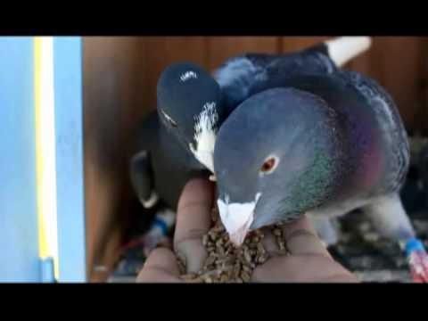 adana güvercinleri (adana pigeons)