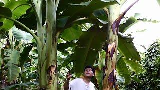 getlinkyoutube.com-วิธีปลูกกล้วยน้ำว้า - How to Grow Banana Plants