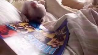 getlinkyoutube.com-White Boston Terrier