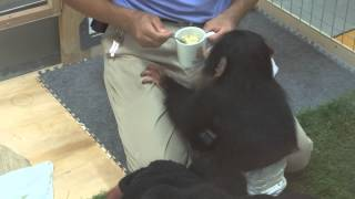 getlinkyoutube.com-のいち動物公園 チンパンジーの人工哺育