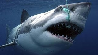 Sharks : Scavengers of the Seas - documentary BBC