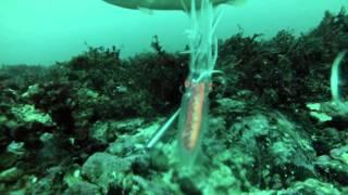 getlinkyoutube.com-Norway fishing 2013 (underwater video by gopro hero3)