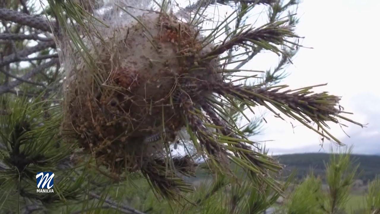 Trabajos de fumigación para preservar los pinares