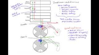 getlinkyoutube.com-✔ Dorsal Column Medial Lemniscus Pathway (DCML) - MADE EASY
