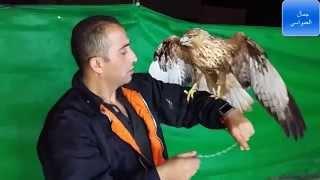 getlinkyoutube.com-الطير الجارح الحجم الكبير مع جمال العمواسي
