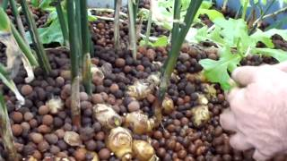 getlinkyoutube.com-Ginger grown in an Aquaponics system with expanded clay
