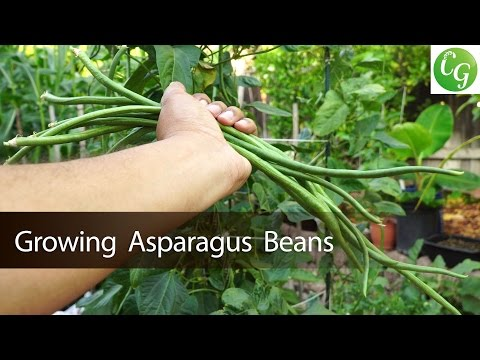 How To Grow Asparagus Beans In Containers - in 4K