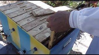getlinkyoutube.com-Eficienta inmultitoarelor - Inmultirea si deparazitarea familiilor de albine se imbina - Apicultura