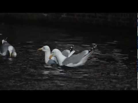 European Herring Gulls pair bonding