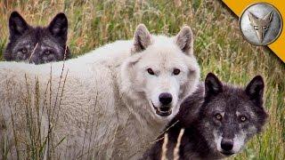 getlinkyoutube.com-Wolf Pack Meets a Coyote!