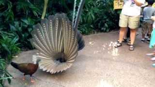 getlinkyoutube.com-Great Argus Pheasant Mating Dance (argusianus argus)