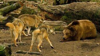 getlinkyoutube.com-Wildlife BiH    Medvjed - Vuk     Bosnian Brown Bear - Bosnian Grey Wolf
