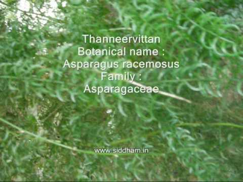Medicinal Plants or Medicinal Herbs - Asparagus racemosus (Siddha Medicine) (Materia Medica)
