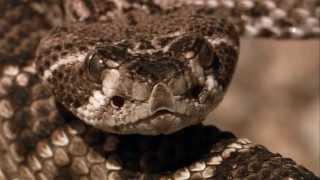 getlinkyoutube.com-Roadrunner and Rattlesnake fight
