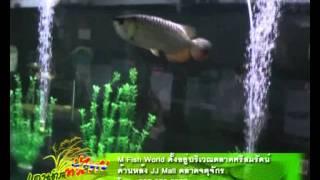 เกษตรทั่วไทย ปลามังกร 1 1