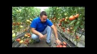 getlinkyoutube.com-Технология выращивания томатов в теплицах
