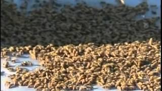 getlinkyoutube.com-Пчеловодство по Американски.