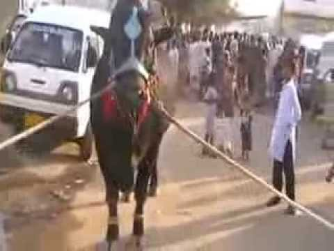 Cow Run Before Qurbani - Beautiful Cow Qurbani in Landhi Town -  2009