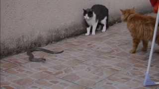 getlinkyoutube.com-Mes deux chats contre un gros serpent.