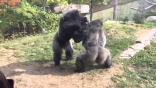"getlinkyoutube.com-Omaha Zoo - Gorilla Fight ""Where's the Zookeepers"""