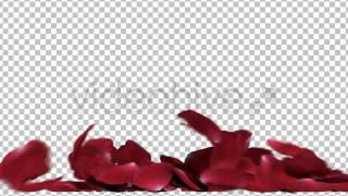 getlinkyoutube.com-Transitions for After Effects -  3D Rose Petals Renders