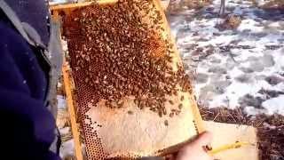 getlinkyoutube.com-Весенний (Зимний) осмотр пчелосемей 21.02.2015 г. Погода +6, Матка F1 Buckfast BZF 2013 г.р.