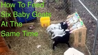 getlinkyoutube.com-How to Feed Six Baby Goats at One Time