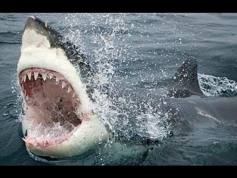 Shark attack - Tubarões atacam baleia - Ataques de Tiburones - Sharks attack whale - Squalo Bianco