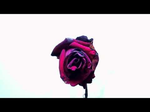 Time Lapse Of Rose Blooming, Wilting And Dropping Petals