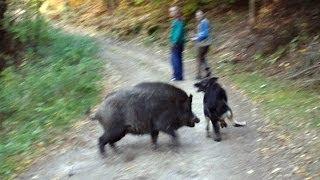 getlinkyoutube.com-Wolf dog and boars