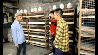 "getlinkyoutube.com-Puyuh""Si Mungil Yang Kaya Nutrisi"" Dari SQF (Slamet Quail Farm)-3"