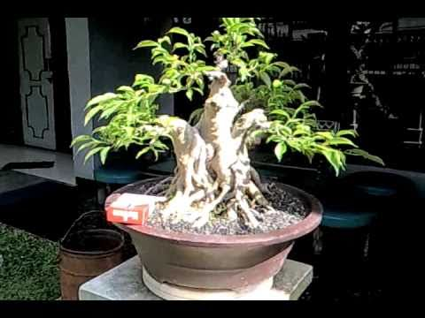 bonsai beringin 08883847707