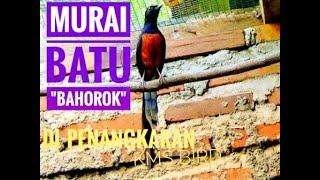 getlinkyoutube.com-Ternak Murai Medan Bahorok