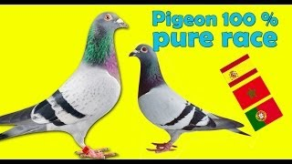 getlinkyoutube.com-Pigeon 2015