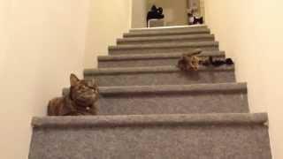 getlinkyoutube.com-猫茶家☆図に乗って階段から落ちる子猫(そのこ)