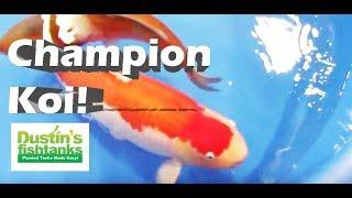 getlinkyoutube.com-Koi Champions. How to look for winning koi