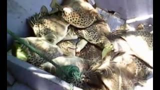 getlinkyoutube.com-Mancing ikan kiper di anak sungai muara pantuan